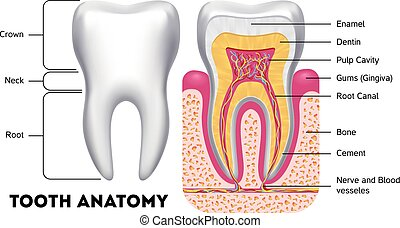 Tooth anatomy vector dental infographics. Medical banner or...