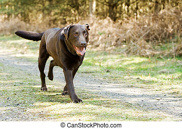 Chocolate Labrador Running in the Countryside - Shot of a...