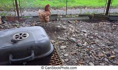 chickens running around near the barbecue - Chickens running...