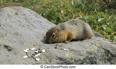 Arctic ground squirrel eating seeds on rock. Kamchatka. -...