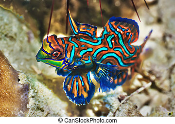 Tropical fish Mandarinfish - Small tropical fish...