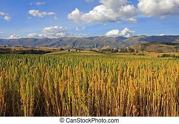 Red quinoa field andean highlands Peru