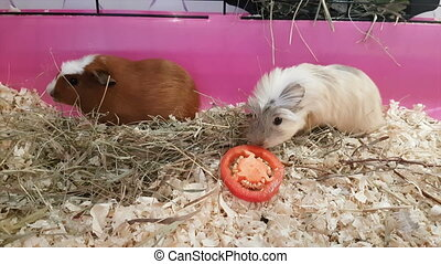 Guinea pigs eating red bell pepper. Struggle for food.