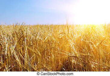 Gold wheat and sunny sky - Wheaten field and beautiful sunny...