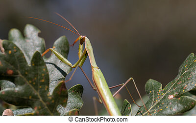 Praying Mantis Perched On A Tree close-up