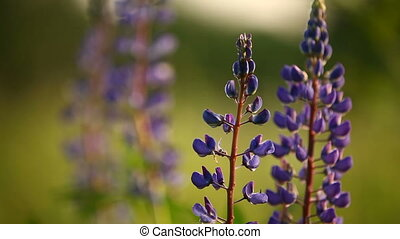 Lupin flowers. Purple flowers on green natural background....