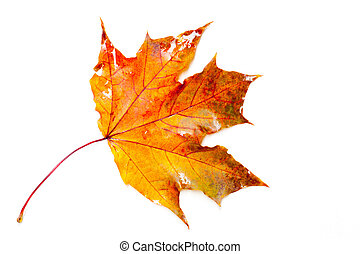 Texture, pattern, background. Close-up of maple autumn leaf...