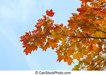 Texture, pattern, background. Maple leaves in autumn a tree...