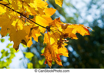 Texture, pattern, background. Leaves and maple leaf shoots....
