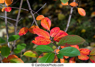 Virginia creeper, Victoria creeper (Parthenocissus...