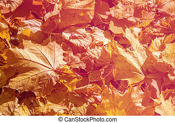 Texture, pattern, background.Maple leaves in autumn a tree...