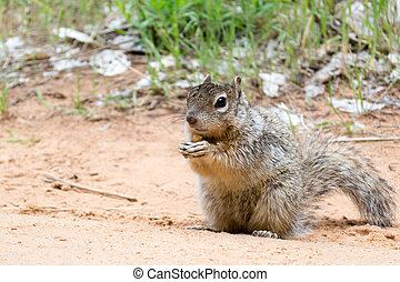 Squirrel at Zion National Park - Rock squirrel at Zion...