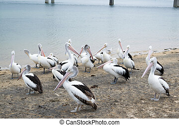 Pelican feeding in San Remo - Pelican feeding happens...