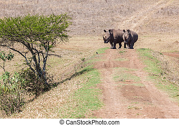 Rhinos Waterhole - Rhino wildlife animals waterhole morning...
