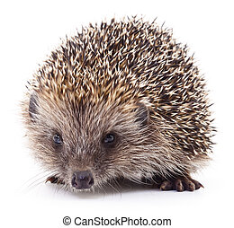 Hedgehog on white. - Small hedgehog isolated on a white...
