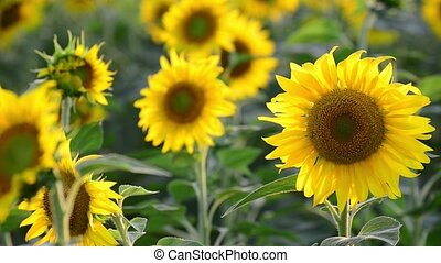 Big sunflowers in the field at sunset - A sunflowers in the...