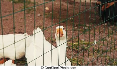 View of white geese in aviary behind the green fence. Zoo....