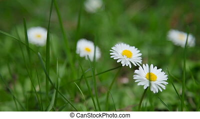 Natural summer background with white daisies in green grass.