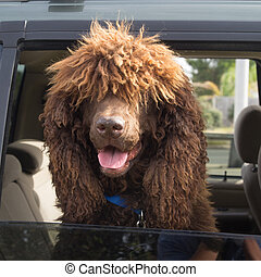 Shaggy Dog Looking Out a Car Window - Brown Shaggy Dog...