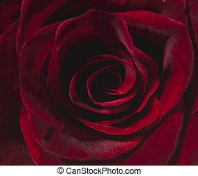 Soft focus red rose