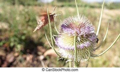 moth flying and extracting nectar from a thistle at the end it flies away