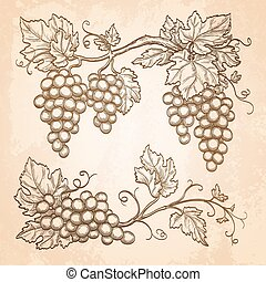 Grape branches on old paper background. Hand drawn vector...