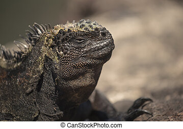 Wild scene of lizard close up in galapagos island - Close up...