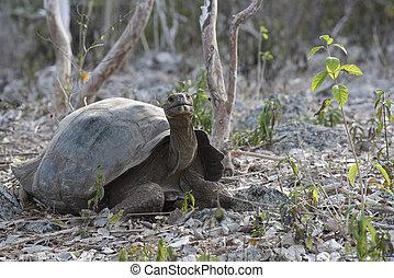 Wild giant tortoise on galapagos island - Wild giant...