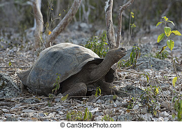 Wildlife scene of giant turtle in galapagos island - Wild...