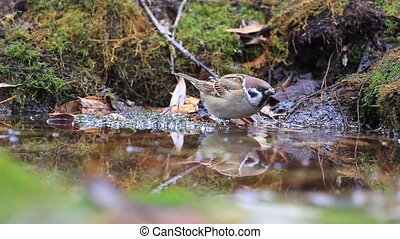 Eurasian tree sparrow on the water among fallen...