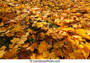 yellow fallen leaves in autumn,note shallow depth of field