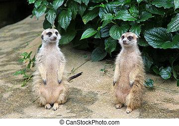 Suricate - Meerkat or suricate (Suricata suricatta) is a...