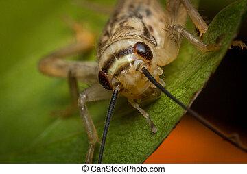 Feeder House Cricket - Close up macro feeder house cricket...