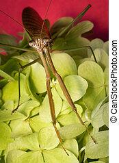 Chinese Praying Mantis - Close up macro large Chinese...