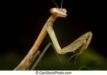 Chinese Praying Mantis - Close up macro Chinese praying...