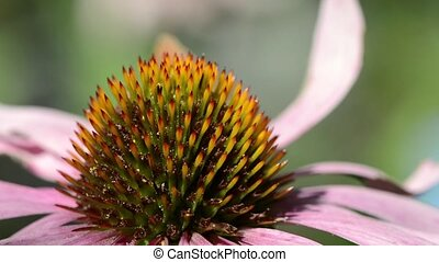 Purple coneflower (echinacea purpurea) extreme close up