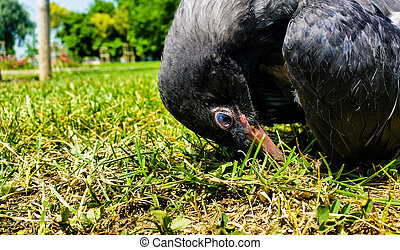 Young Crow Resting on the Soil - Young Crow Resting on the...