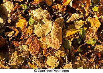 dry fallen leaves  in autumn,note shallow depth of field