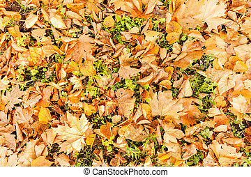 dry fallen leaves in autumn - dry fallen leaves on the grass...