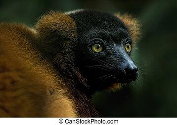 Red Ruffed Lemur (Varecia rubra)