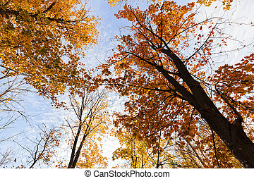 """treetop in autumn - trees from the """"frog perspective"""" with..."""