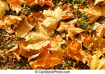 fallen autumn leaves - fallen leaves on the grass in the...