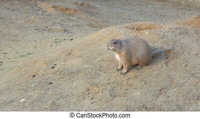 Black-tailed prairie dog on the ground - Black-tailed...