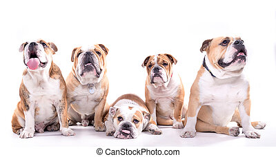 English bulldogs posing - Bored female with four males of...