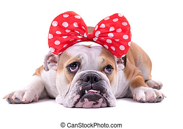 Sad English bulldog - Portrait of sad English bulldog...