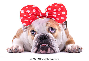English bulldog portrait - Portrait of female English...