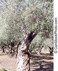 Akko Bahai gardens olive trees 2003