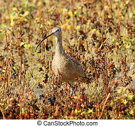 Long Billed Curlew Bird in Grass - Curlew camouflaged in the...
