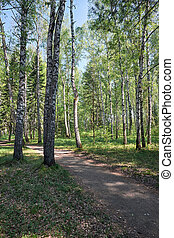 Birch forest at Spring time - Path trough Siberian birch...