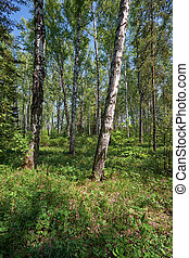 Birch forest at Spring time - Siberian birch forest at...